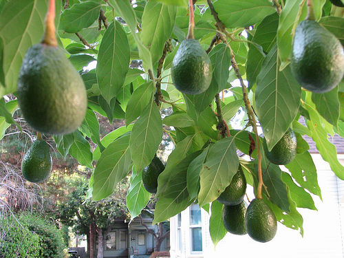 avocado_width