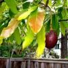 Milyen betegségek érintik az avokádófát?