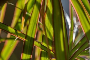 A tarka sárkányfa (Dracaena marginata)
