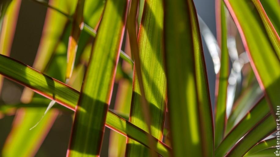 A tarka sárkányfa (Dracaena marginata) ideális fényszegény otthonokba, irodába