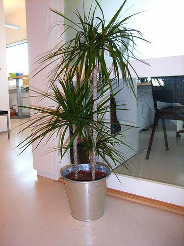 Dracéna-szobanövény-gondozása