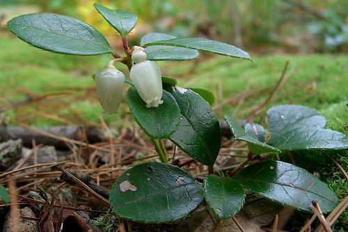 Kúszó-fajdbogyó-keleti-teabogyó