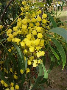 Arany-akác-virága
