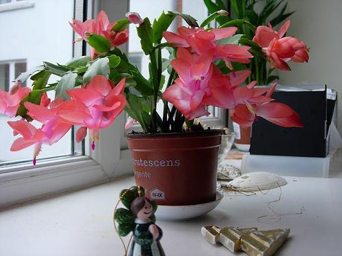 Schlumbergera-bridgesii-karácsonyi-kaktusz