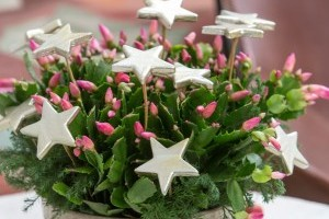 Karácsonyi kaktusz - mit tegyünk, hogy karácsonykor nyíljon?