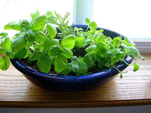 Cserepes-fűszernövények