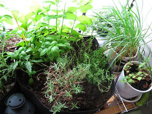 Fűszernövény-kert-gondozása