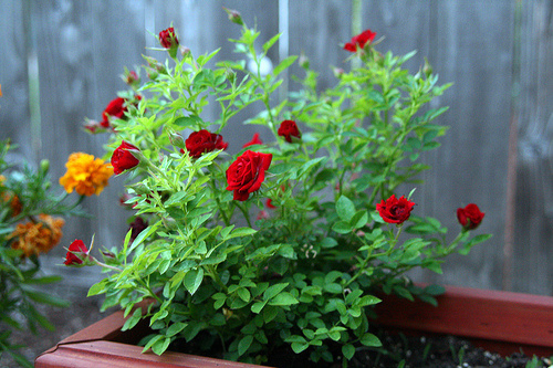 Cserepes-rózsabokor