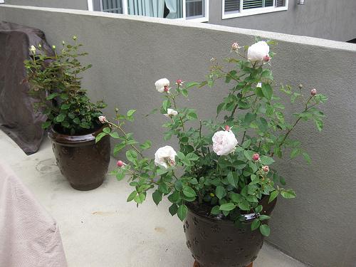 Beltéri-rózsa-gondozása