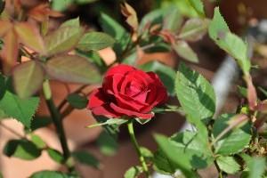 A rózsabokrok gondozása lépésről lépésre - 2. rész