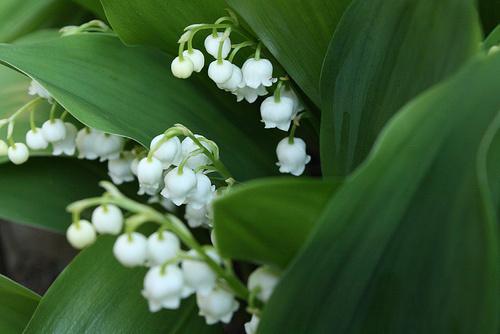 Gyöngyvirág-gondozása