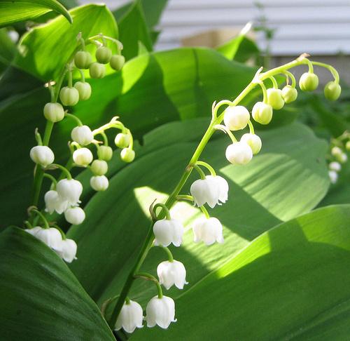 Gyöngyvirág-gyógyhatásai