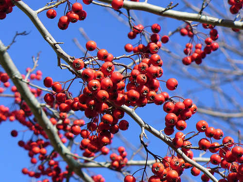winter-king-galagonya-Crataegus-viridis