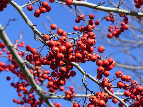 winter-king-galagonya-Crataegus-viridis