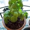 Milyen fűszernövényeket termesszünk bent? 1. rész
