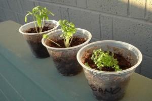 Milyen fűszernövényeket termesszünk bent? 2. rész