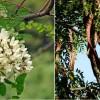 Mi a különbség az akácfa és a lepényfa között?