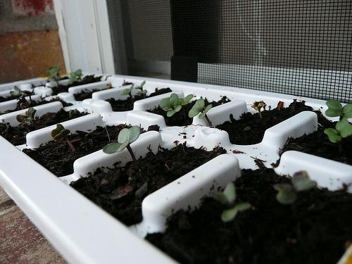 karfiol-termesztése