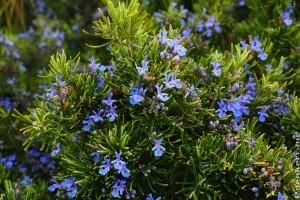 A rozmaring (Rosmarinus officinalis)