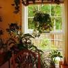 Pozsgás növények függőkosárban