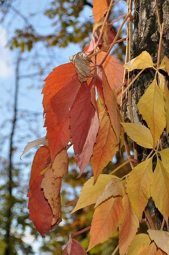 feher-koris-Fraxinus-americana