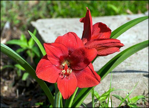 amaryllis-hölgyliliom