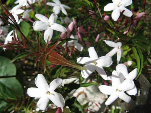 jázmin-szobanövény