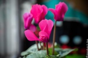 Télen virágzó szobanövények