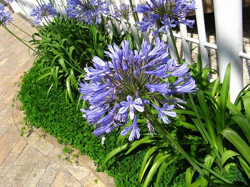 agapanthus-africanus-szerelemvirág