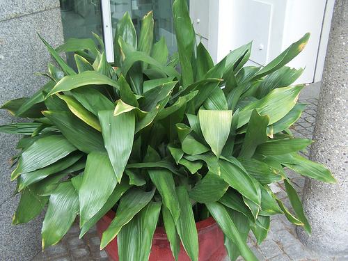 aspidistra-elatior-kukoricanoveny