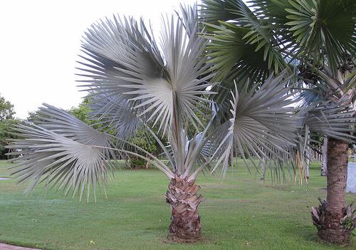 bismarckia-pálma