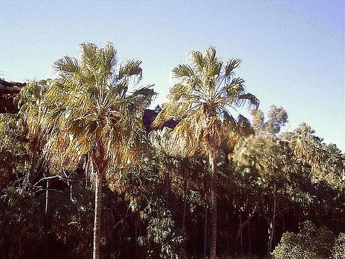 livistona-mariae