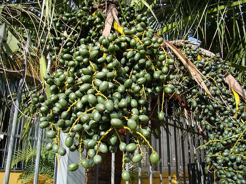 livistonia-chinensis