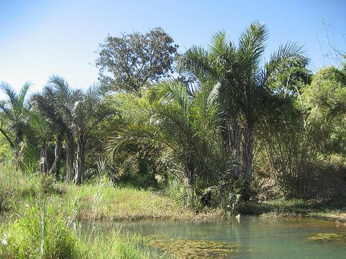 raphia-farinifera