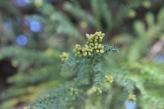 cryptomeria_01