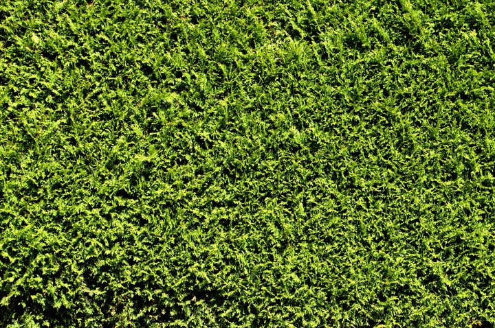 hedge-1662358_1920