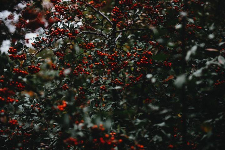 holly-berries-1082178_1920