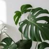 A könnyezőpálma dzsungel hangulatot teremt