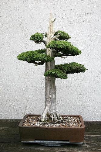juniperus-chinensis-boróka-bonsai