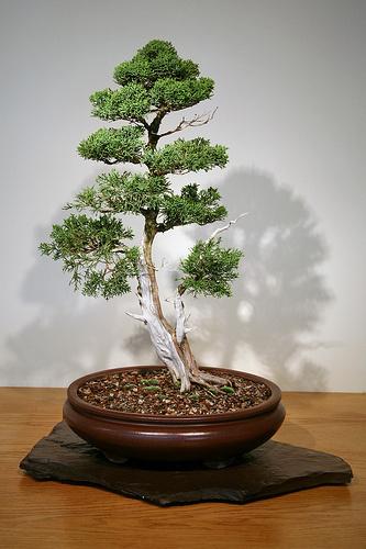 juniperus-sargentii