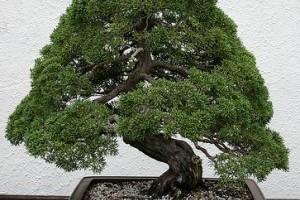 Mit kell tudni a boróka bonsai metszéséről?