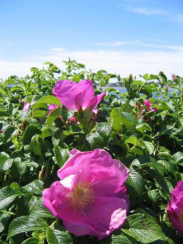 csipkebokor-japán-rózsa