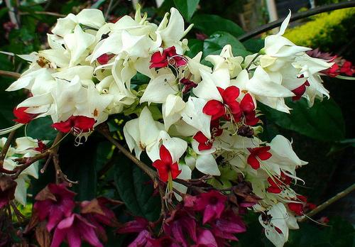 clerodendron-thomsonae-vegzetfa