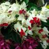 Végzetfa (Clerodendron thomsonae)
