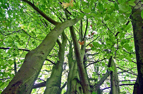 fagus-grandifolia-amerikai-bukk