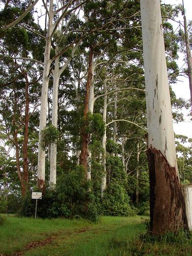 eukaliptusz-fa