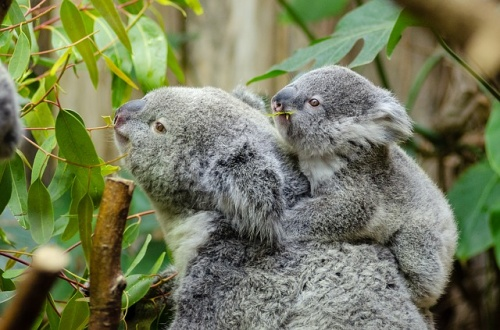 female-koala-and-her-baby-1332217_640