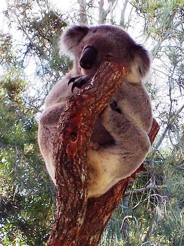 koala-eukaliptusz-fa