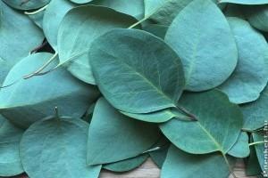 Érdekes tudnivalók az eukaliptuszról