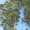 Ismerjük meg a rágógumi fát (Sapodilla)!
